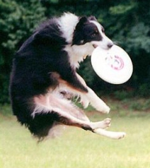 dog playing frisbee