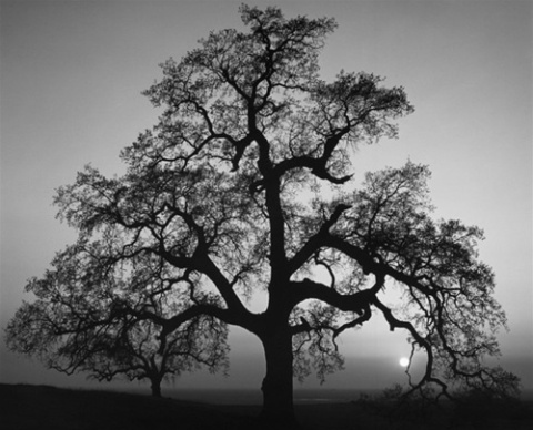 """Oak Tree, Sunset City"" / Ansel Adams"