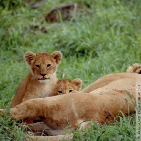 cubs.mama1