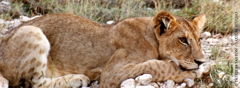 saxton_lion.cub