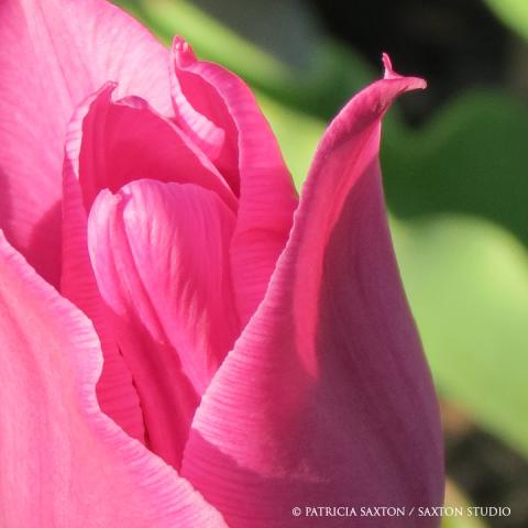 tulip.lg2