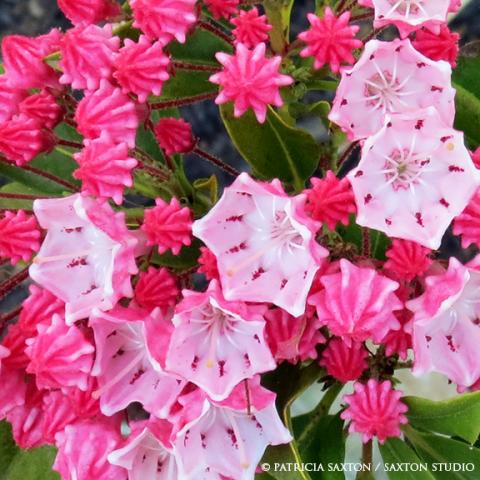 pink.buds