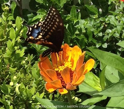 zinnia.butterfly