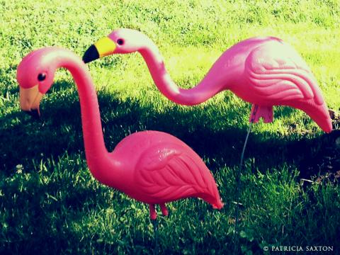 saxton.flamingos3X
