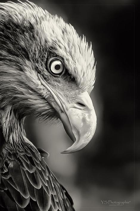 eagle.photo2