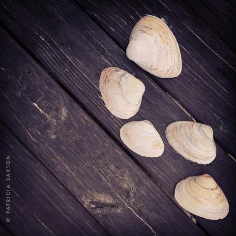 saxton_clam.shells