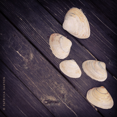 saxton_clam.shells